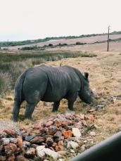 Tim the white rhino