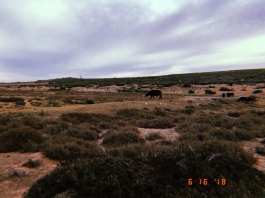 Buffalo on a ridge