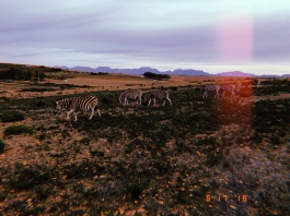 Fun fact! If a predator comes, the baby zebras get together and mothers run circles around them!
