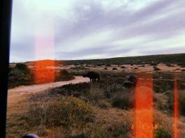 Buffalo on a road
