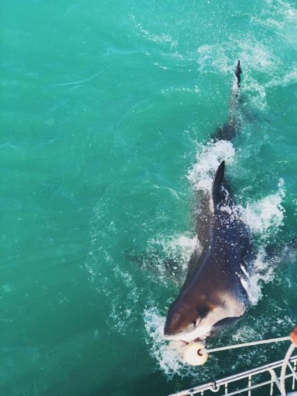 another good shark